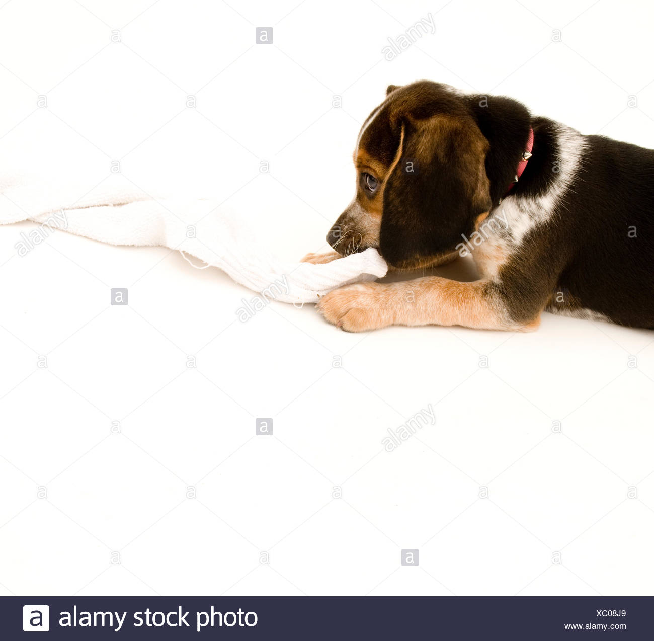 isolated, sock, beagle, maddening, pert, coquettish, cute, backdrop, - Stock Image