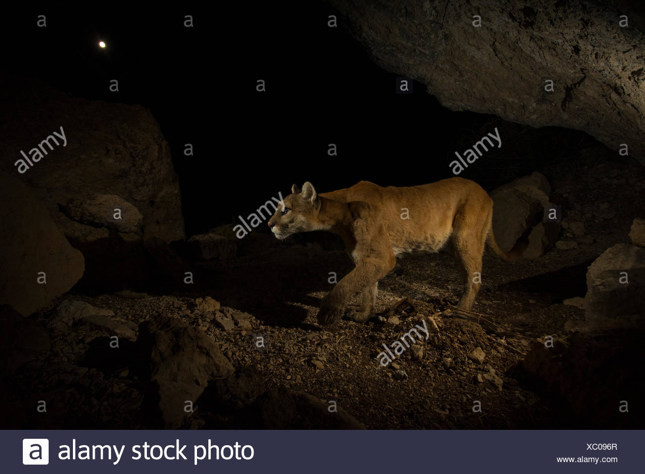 A remote camera captures a mountain lion in Wyoming's Greater Yellowstone Ecosystem. - Stock Image