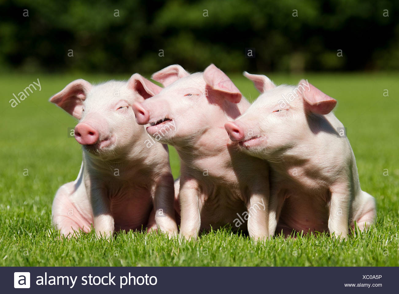 Three piglets in field - Stock Image