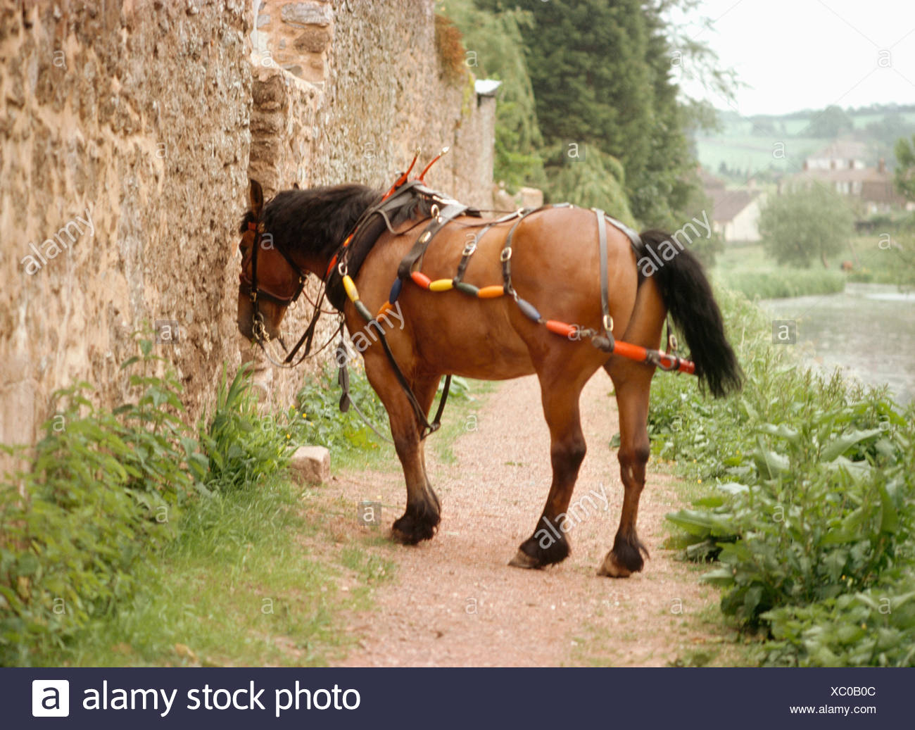 Horse on a canal towpath, used for pulling a narrow boat - Stock Image