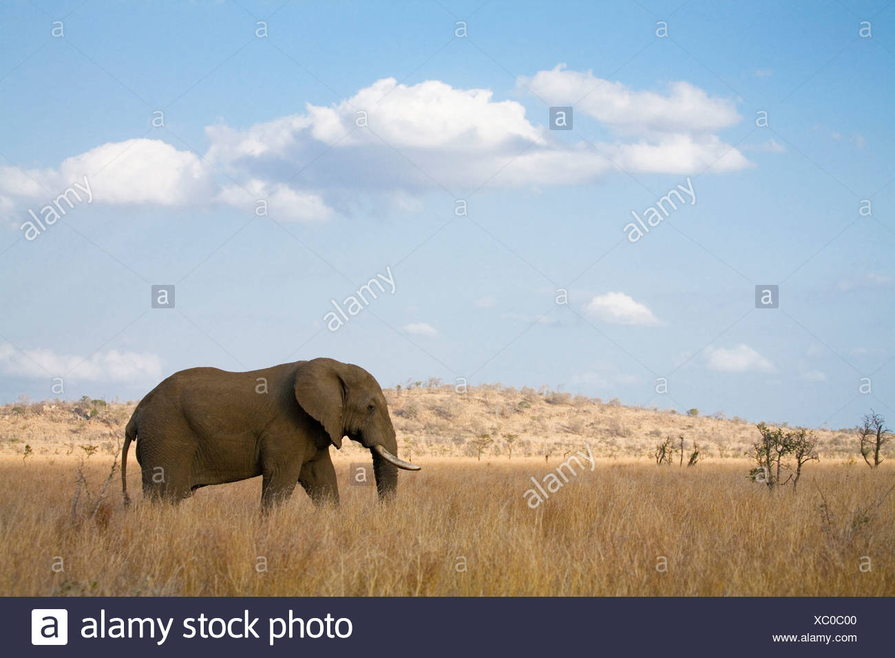 South Africa, Krüger National Park, Elefant - Stock Image