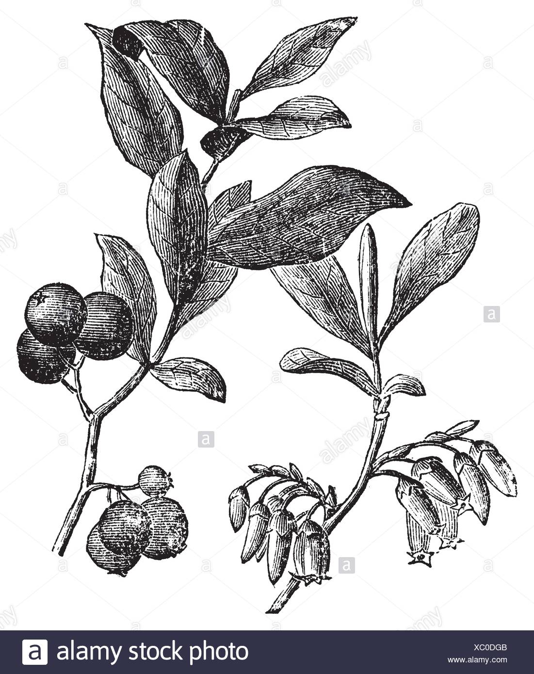 Huckleberry or Gaylussacia resinosa engravin  Old vintage engraved illustration of huckleberry plant  The huckleberry is the state fruit of Idaho - Stock Image