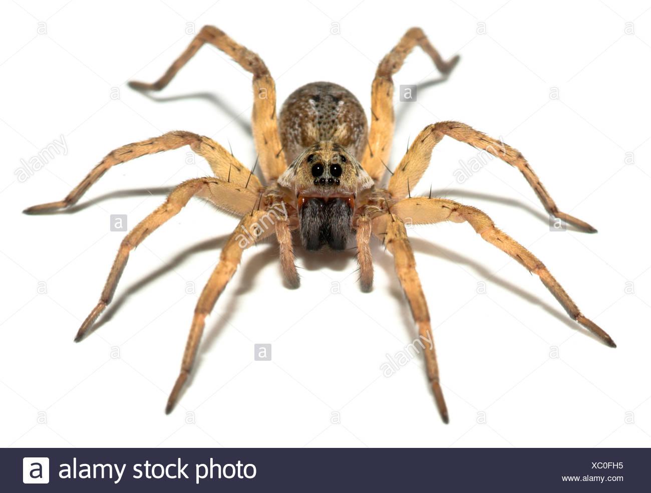 CAROLINA WOLF SPIDER (Hogna carolinensis) USA - Stock Image