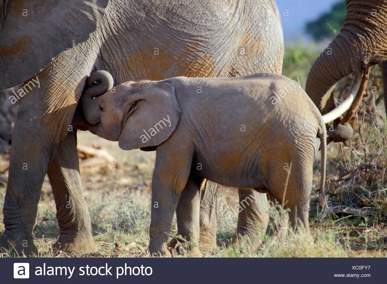 African elephant (Loxodonta africana), elephant calf drinking by the mother, Kenya, Amboseli National Park - Stock Image