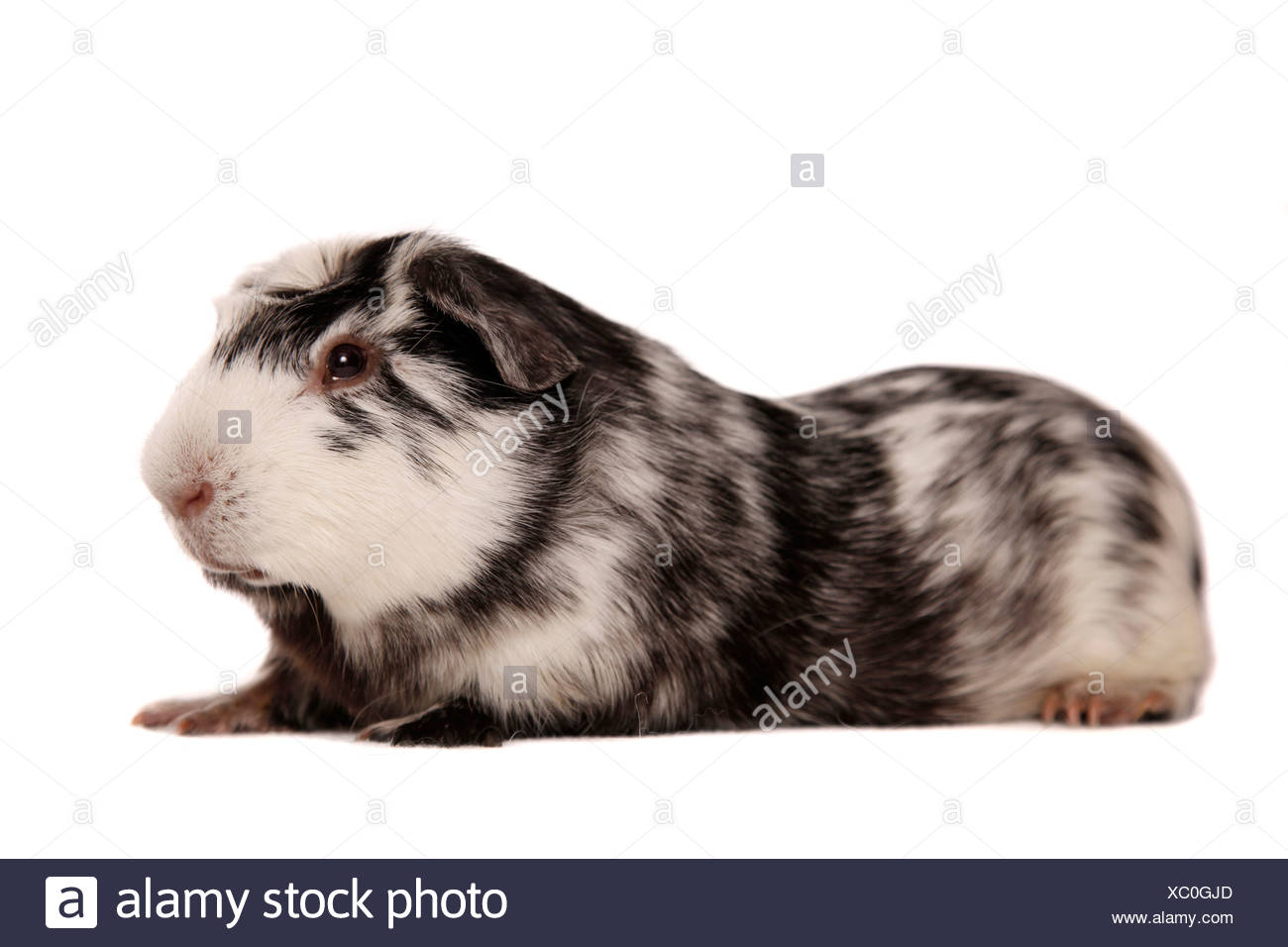 Cuy - Riesenmeerschwein Stock Photo