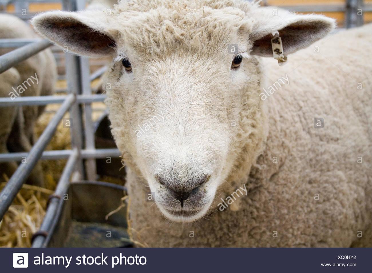 Curious Sheep - Stock Image
