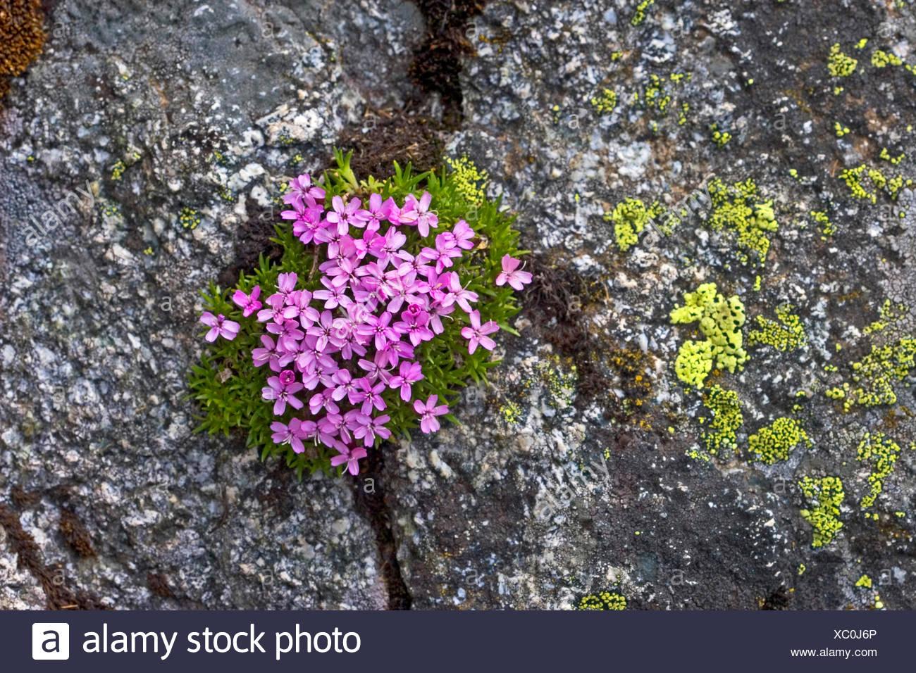 Moss campion, Cushion Pink (Silene acaulis), blooming, Germany - Stock Image