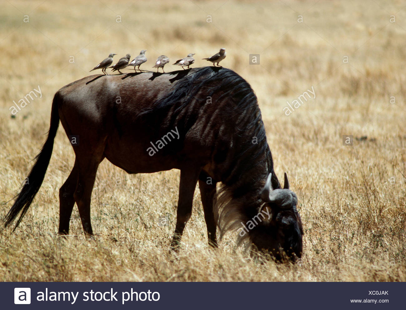 Wildebeest carrying wattled starlings on its back, Tanzania - Stock Image
