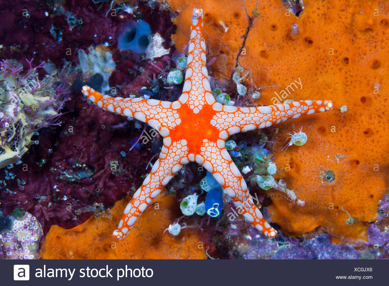 Red mesh starfish, Fromia monilis, ambon, the Moluccas, Indonesia Stock Photo
