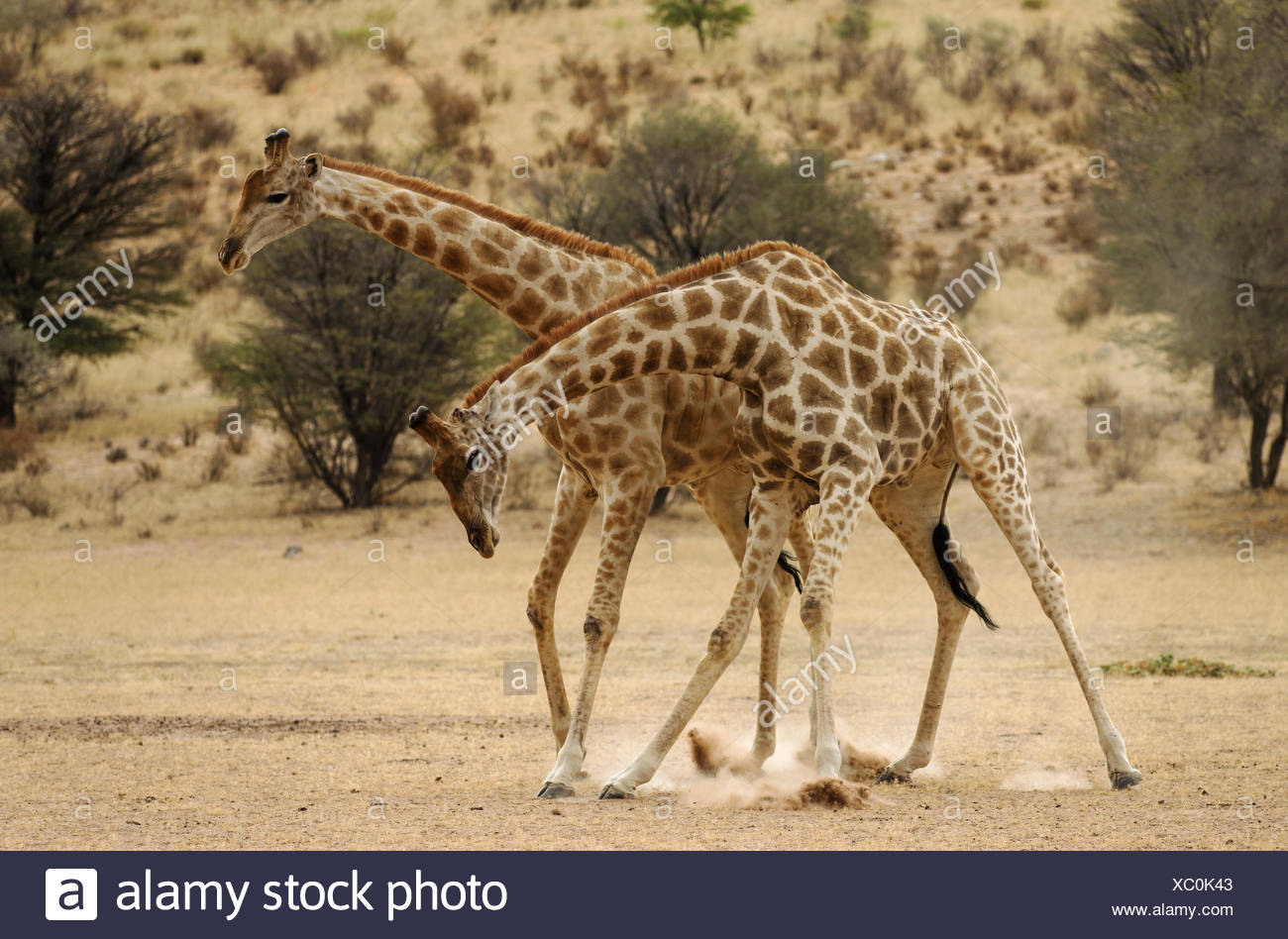 Southern Giraffe (Giraffa giraffa). Males fighting  in the dry Auob riverbed in the early morning. Kalahari Desert, Kgalagadi Transfrontier Park, South Africa. - Stock Image