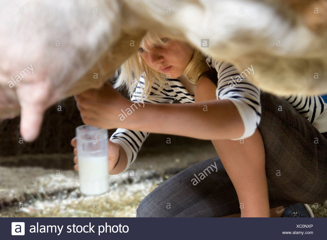 girl milking cow by hand - Stock Image
