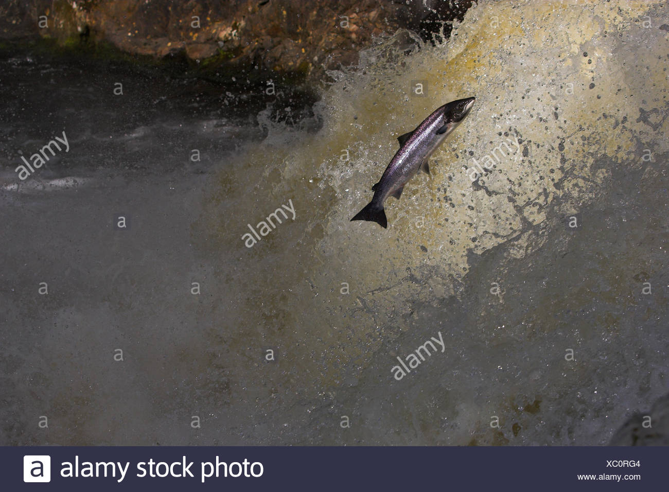 Atlantic salmon (Salmo salar) jumping waterfall during migration to spawn, Scotland - Stock Image