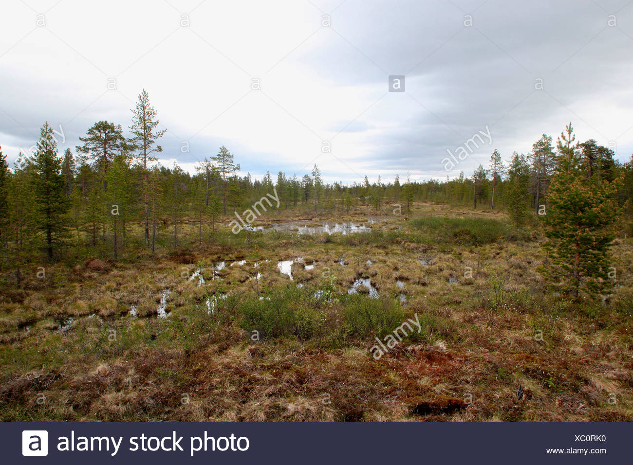 Pines, birches, mountain tundra, Lapland, Finland, Europe - Stock Image