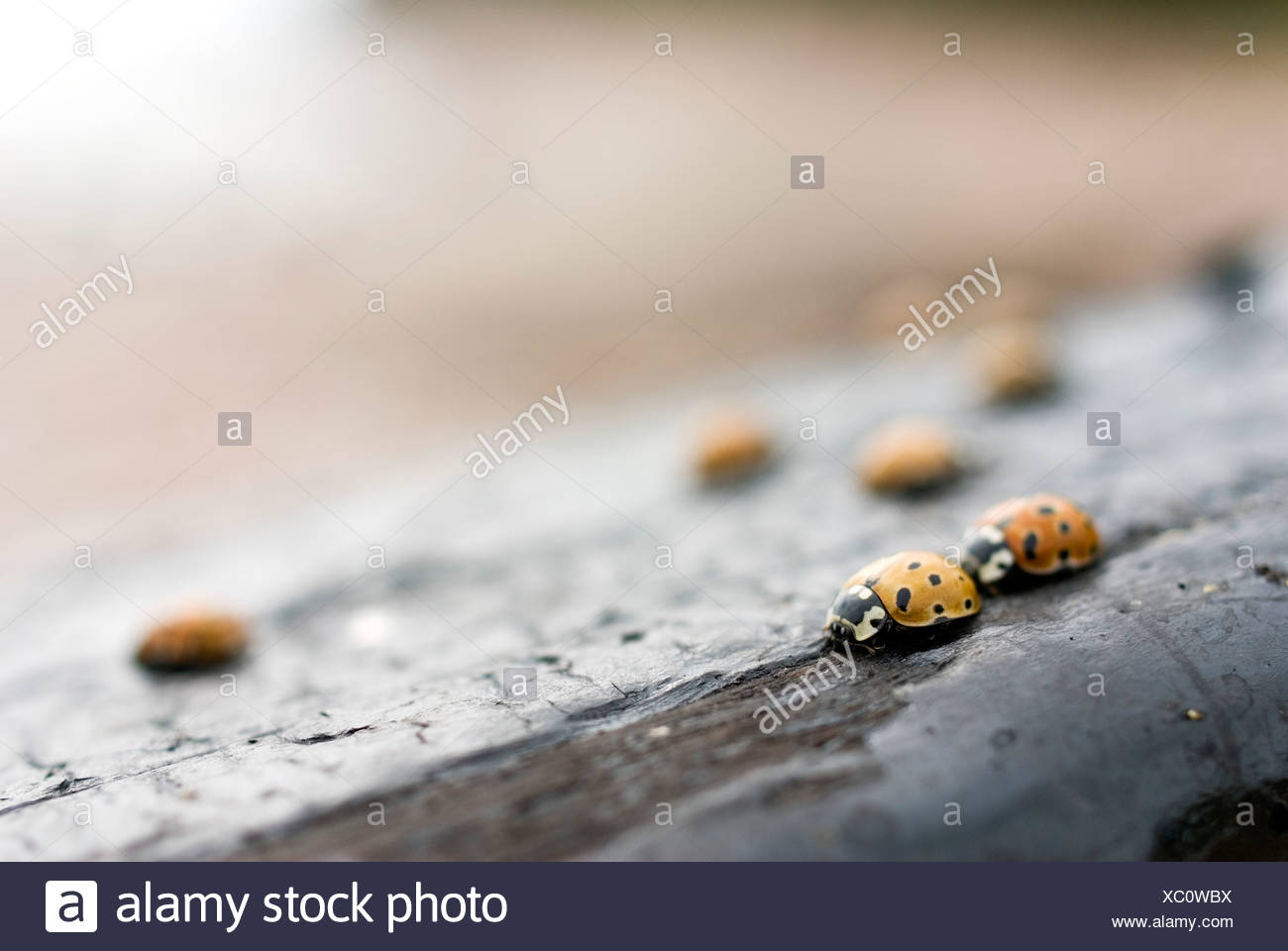 Selective focus of ladybugs on wood Stock Photo