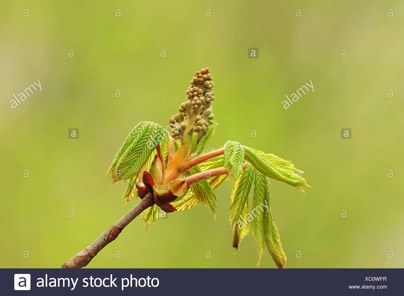 Horse Chestnut (Aesculus hippocastanum), leaves and flower buds, North Rhine-Westphalia Stock Photo