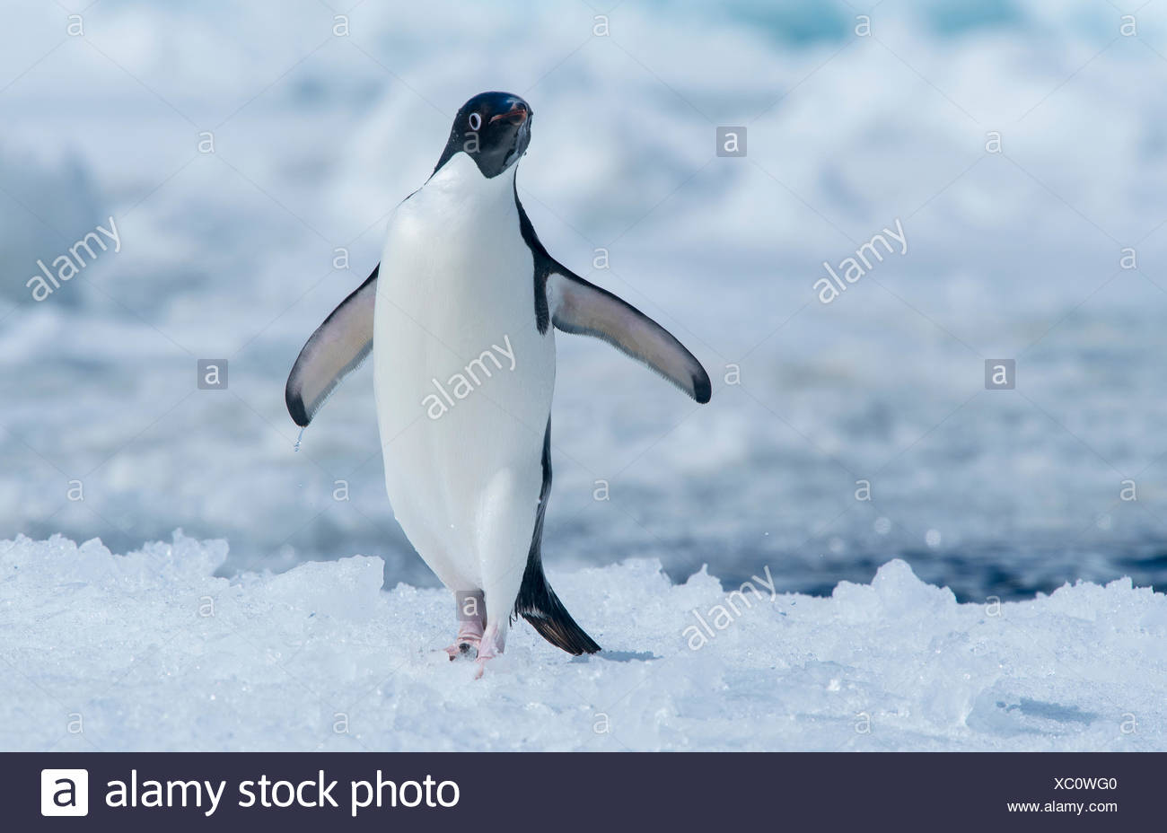 An Adelie penguin lands on the ice after jumping out of the nearby water in Antarctica. - Stock Image