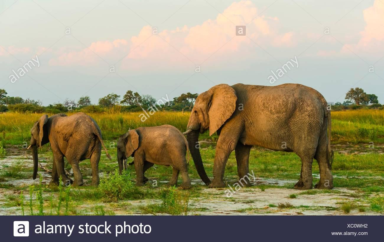 Elephants, Kwando Concession, Linyanti Marshes, Botswana. Stock Photo