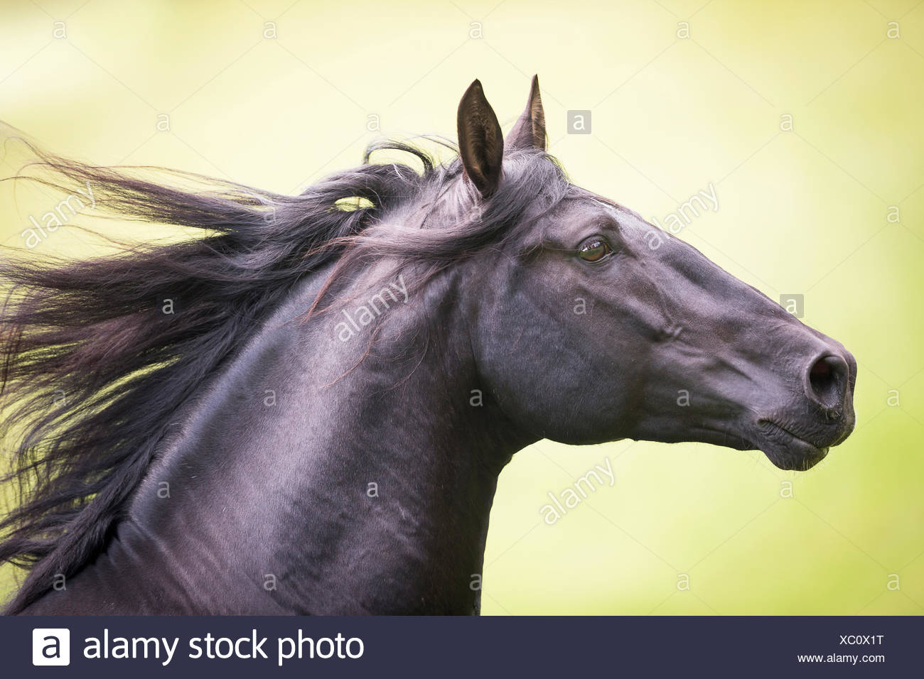Pure Spanish Horse, Andalusian. Black stallion galloping on a pasture, portrait. Austria - Stock Image