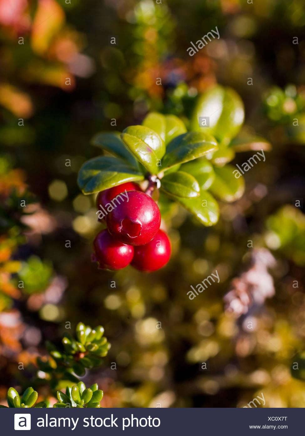 Red lingon berries - Stock Image