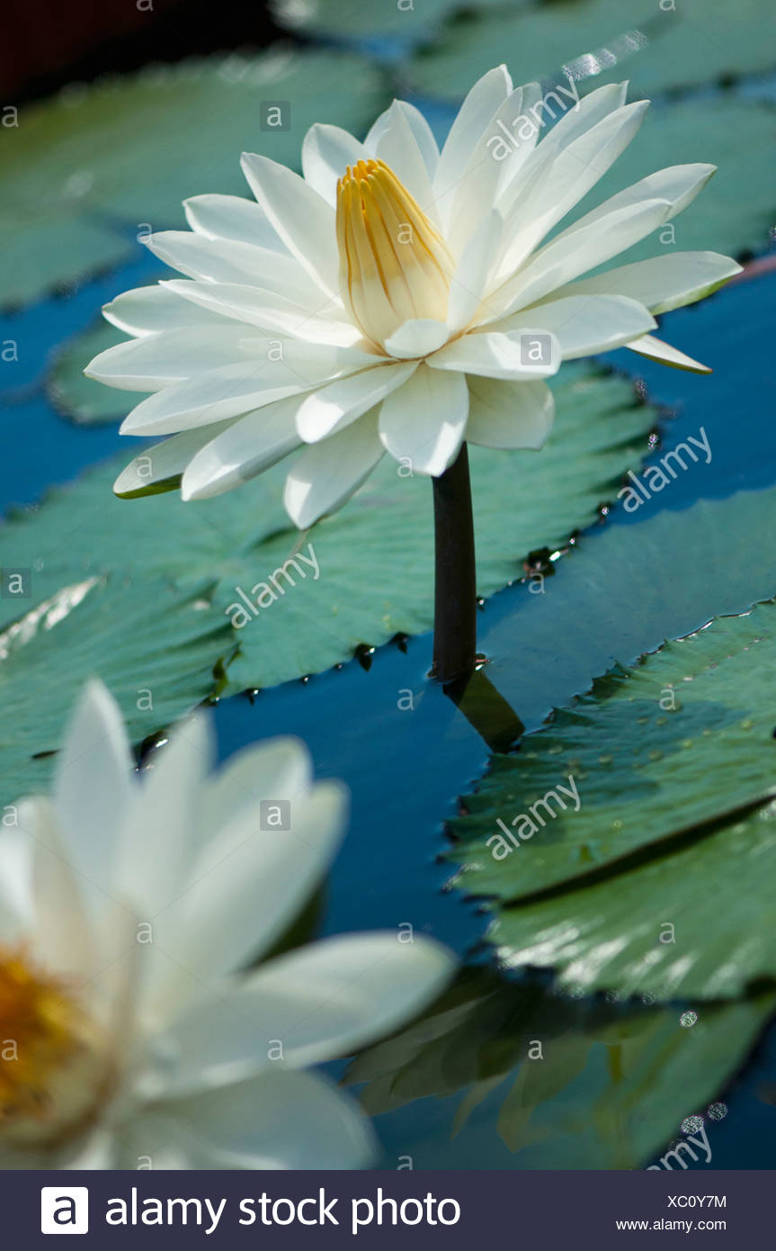White Lily Pads Stock Photos White Lily Pads Stock Images Alamy