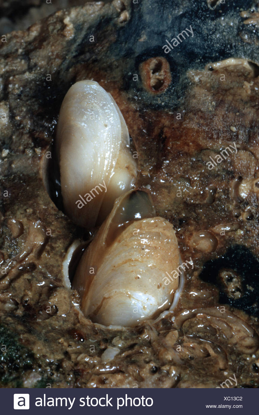 flask shell, European flask shell (Gastrochaena dubia, Rocellaria dubia), two shells in silt - Stock Image