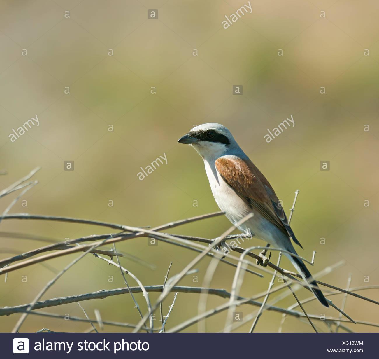 Red-backed Shrike on Lesvos - Stock Image