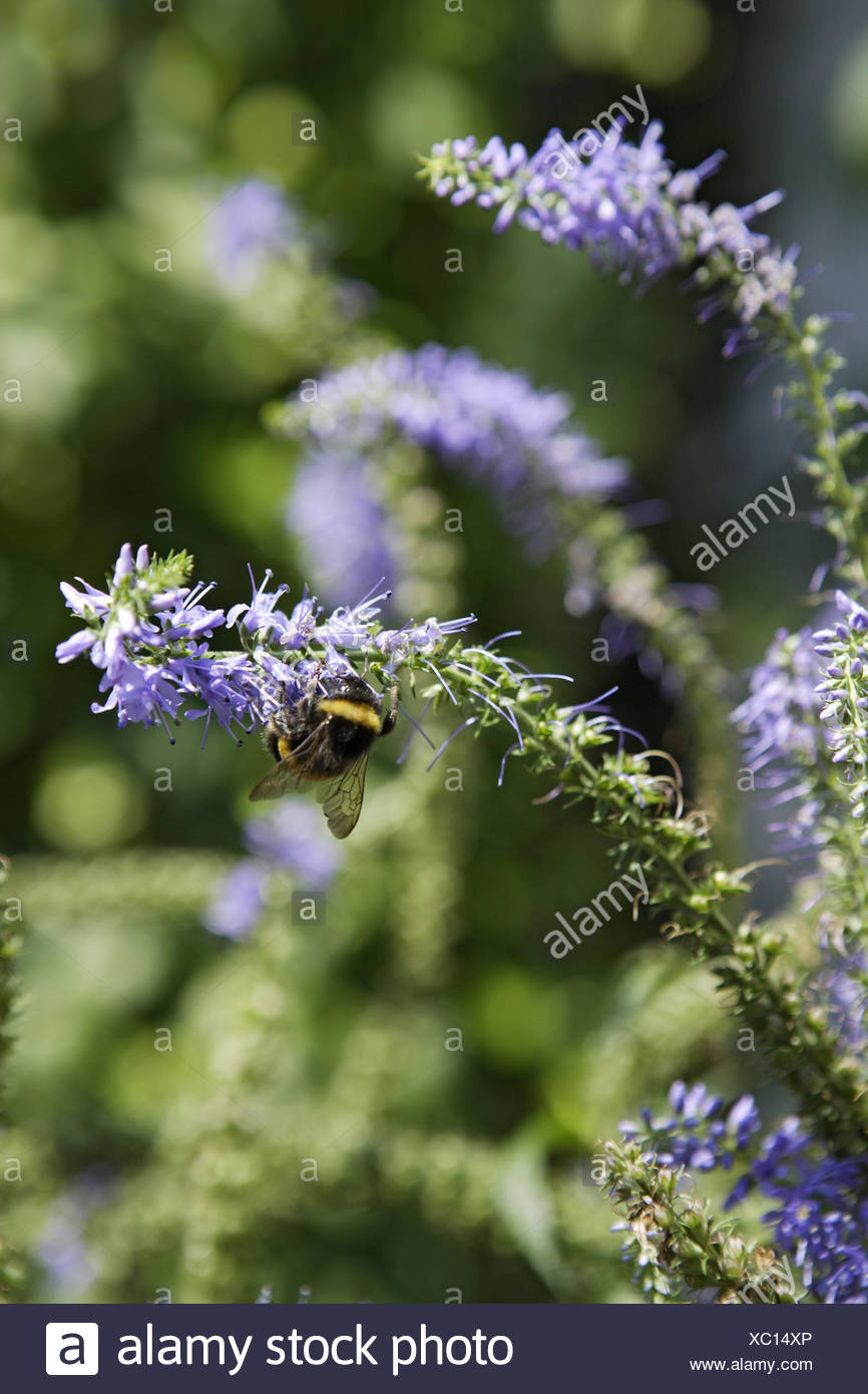 Speedwell, flowers, bumble bee, Bombus spp., Nectar, collecting, - Stock Image