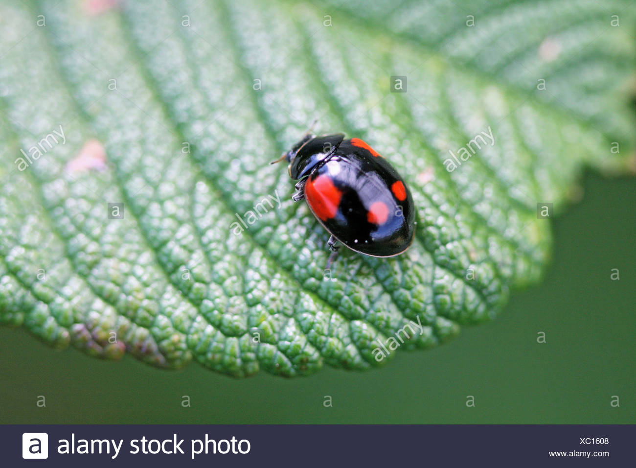 Two-spot Ladybird Beetle, Adalia bipunctata v sexpustulata, Black variant of Two-spotted ladybird esily confused with the black - Stock Image