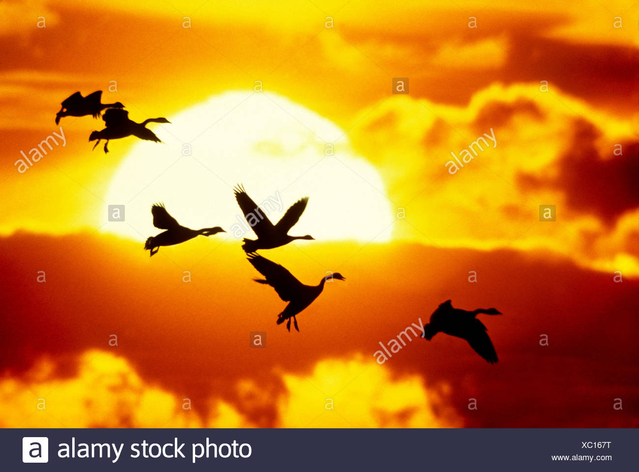 A flock of canada geese (Branta canadensis) lands in a prairie slough, Alberta, Canada. - Stock Image