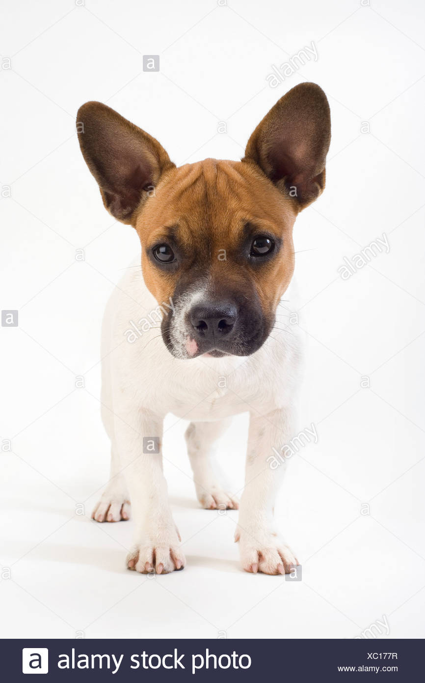 portrait of mongrel puppy - Stock Image
