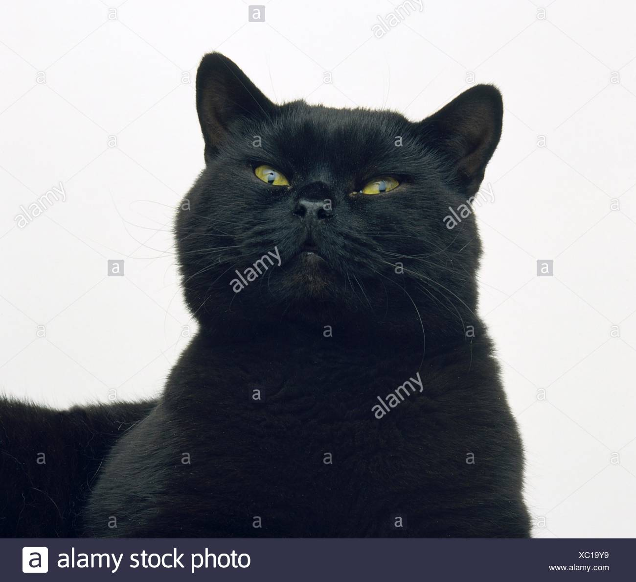 Black cat, head and shoulders - Stock Image