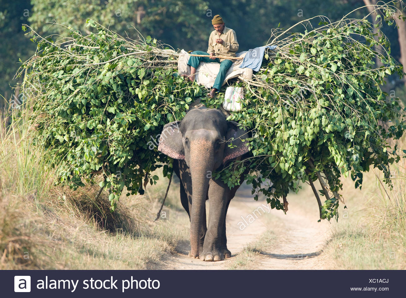 Mahout man riding elephant carrying branches India - Stock Image