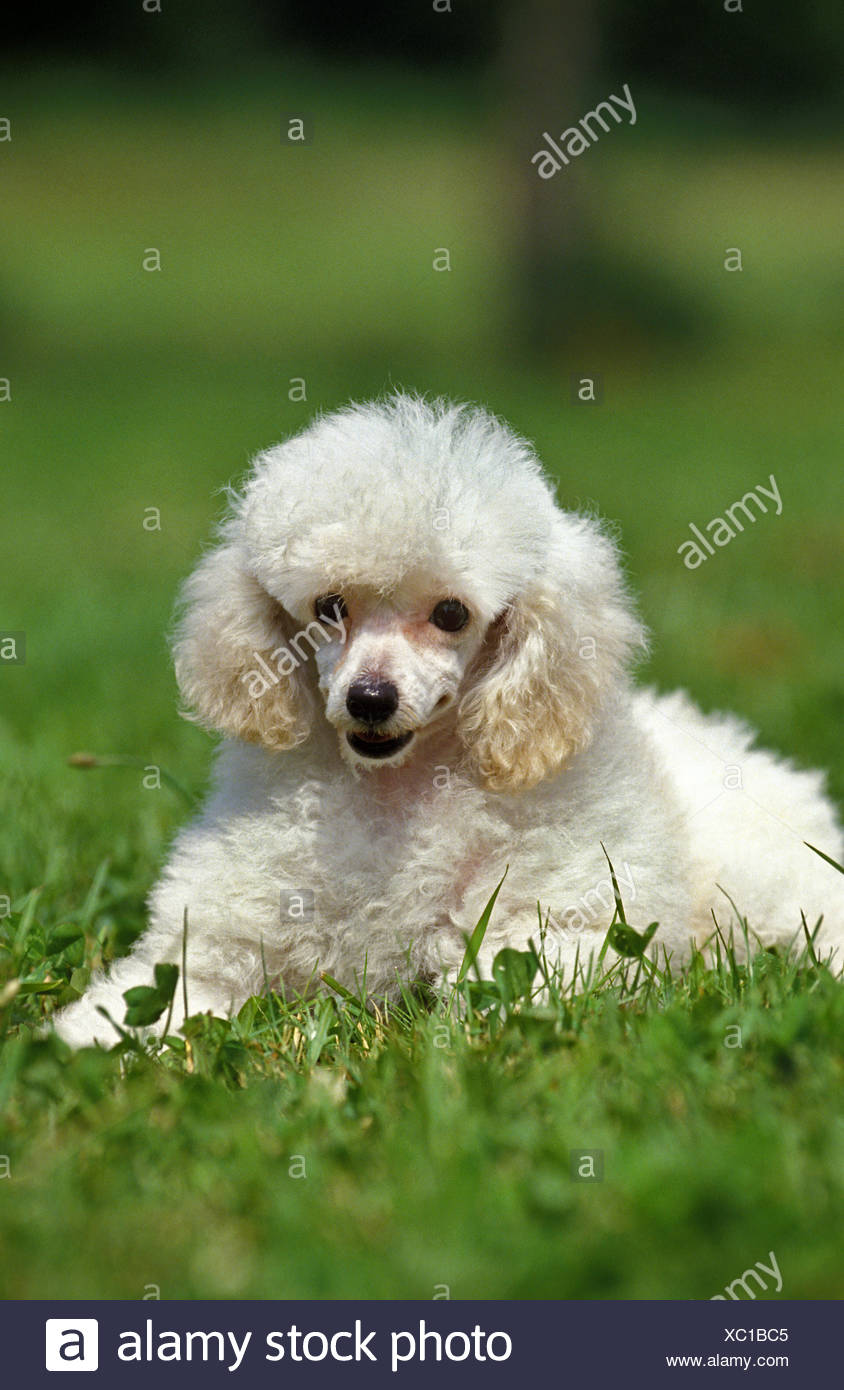 White Toy Poodle, Adult laying on Grass - Stock Image