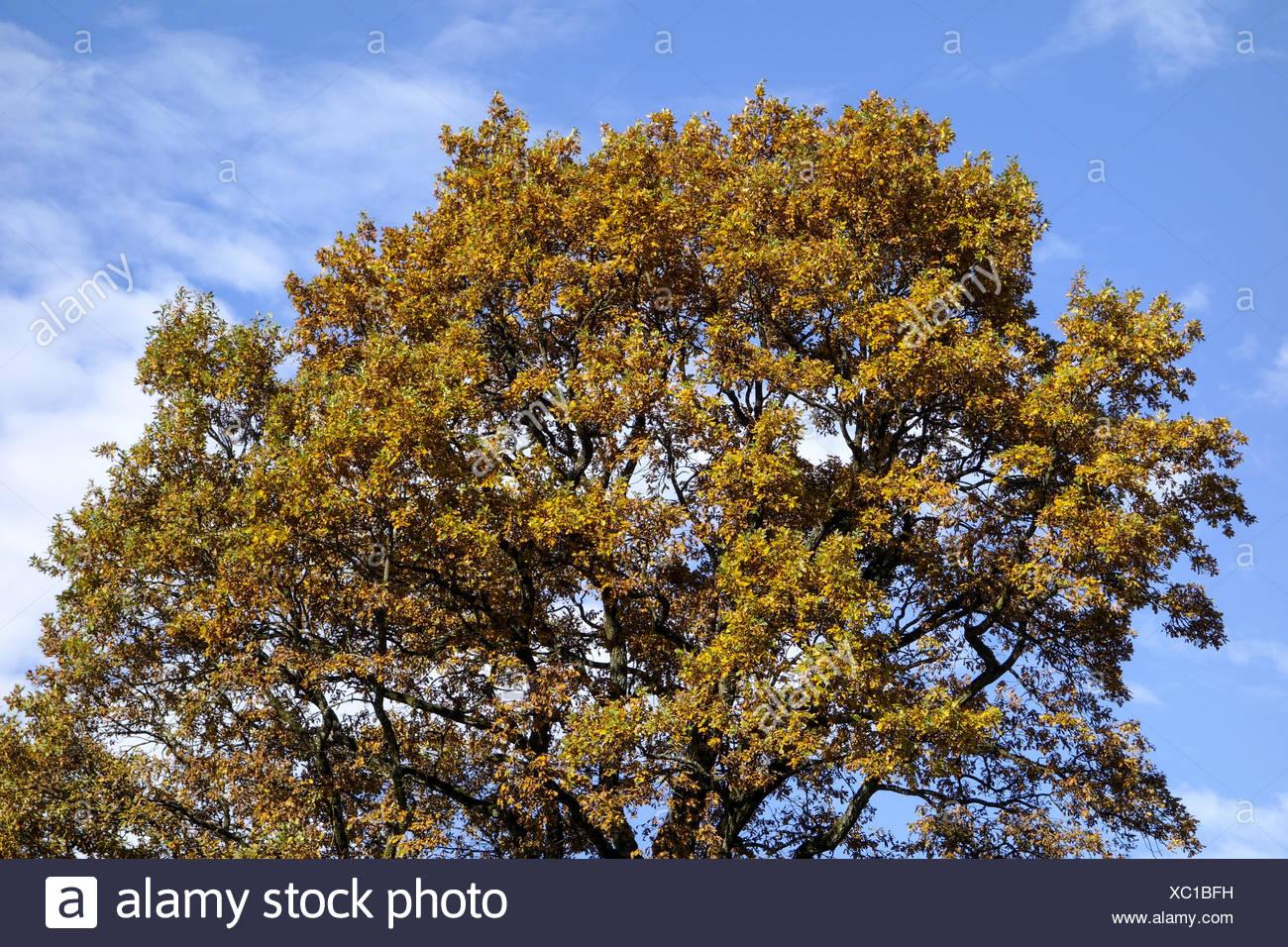 Einzelner Baum, Eiche im Herbst, Single oak tree in autumn, Oak, Tree, Trees, Autumn, Leaves, Autumnal, Season, Landscape, Natur - Stock Image
