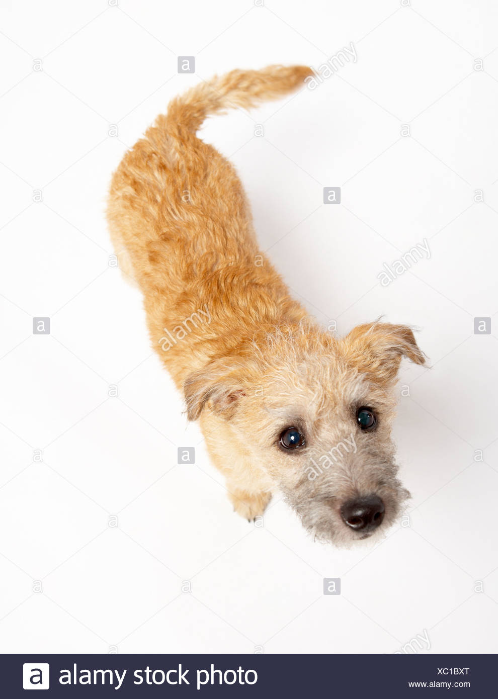 Small Dog Standing And Looking Up - Stock Image