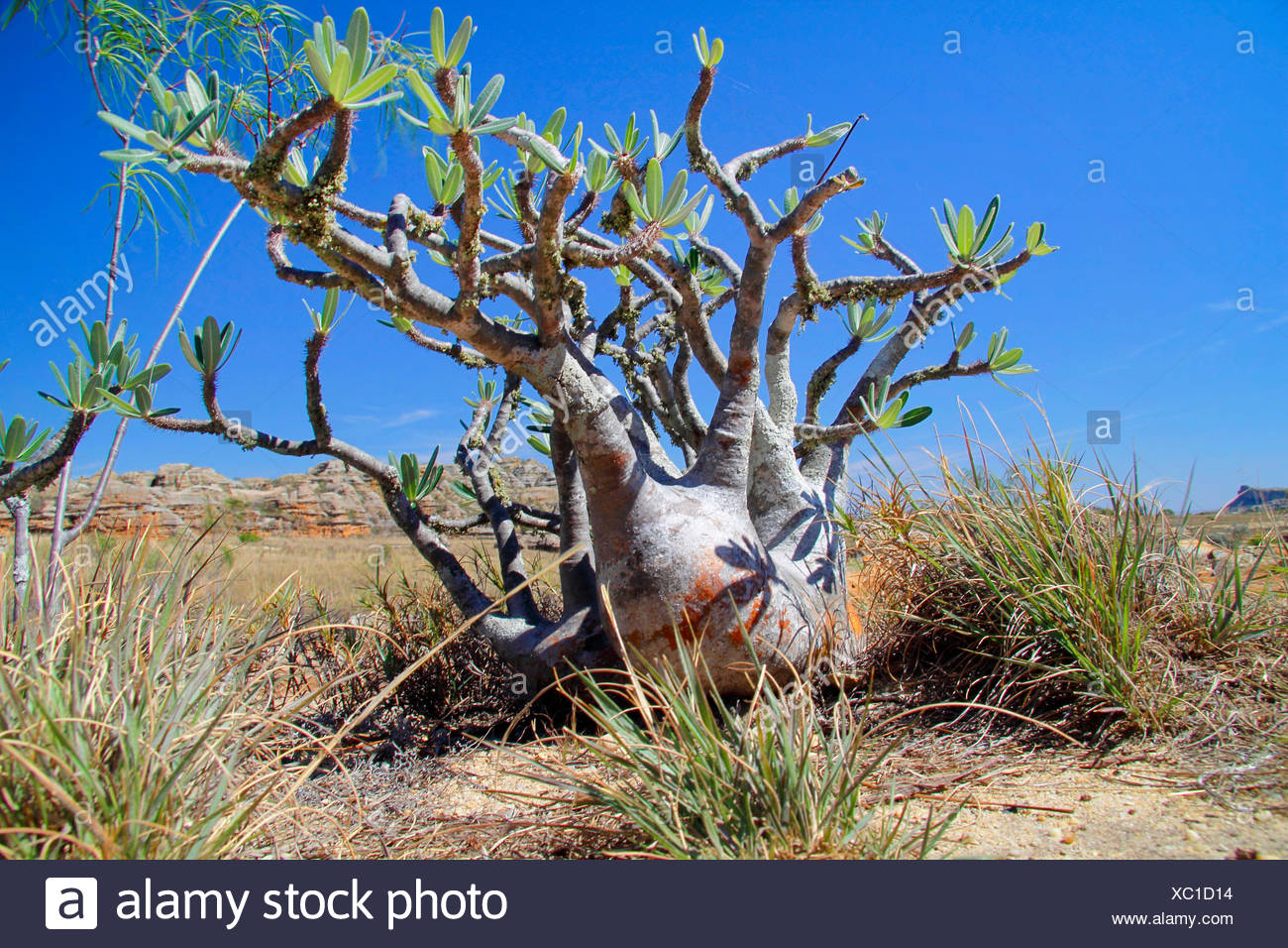 Elephant's Foot Plant  (Pachypodium rosulatum ), single plant in front of the the mountains, Madagascar, Isalo National Park - Stock Image