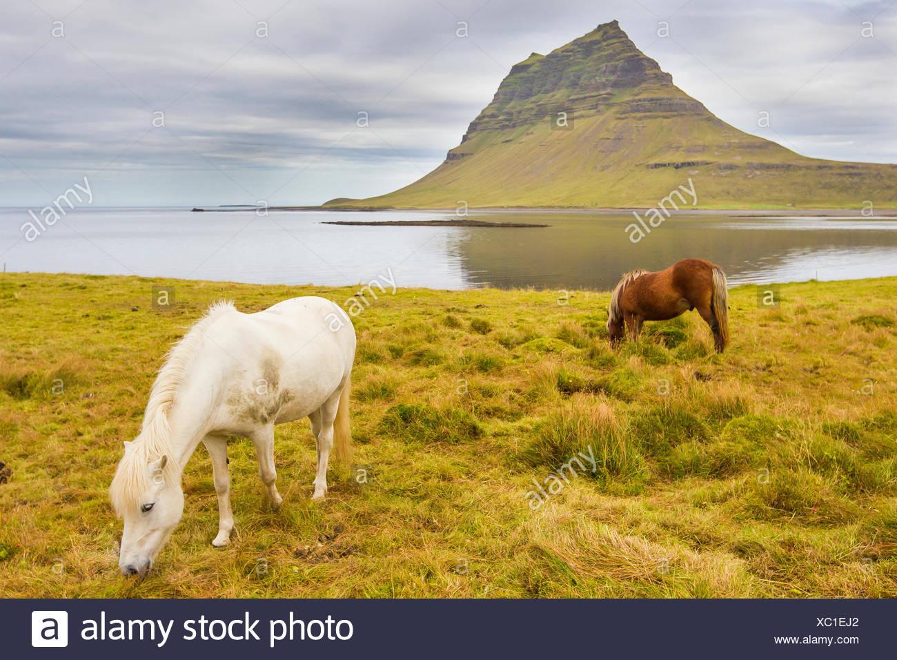 Horses grazing in a meadow near Kirkjufell Mountain, on Iceland's coast. - Stock Image