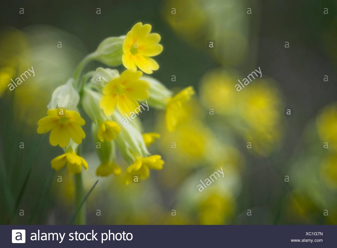 Cowslip (Primula veris), Flower of 2016, Baden-Württemberg, Germany Stock Photo