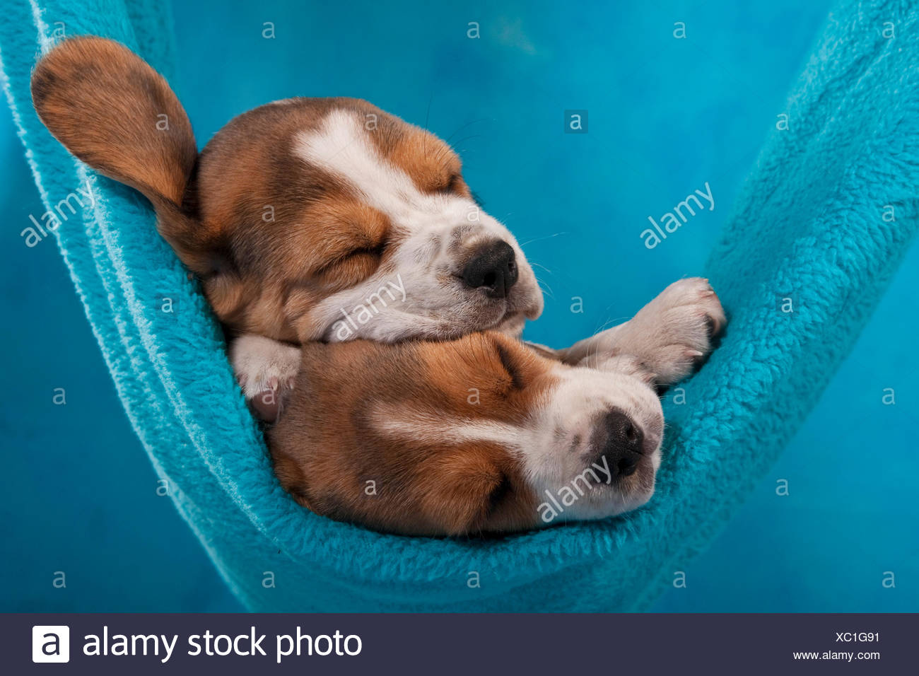 Two Beagle puppies sleeping in a hammock - Stock Image
