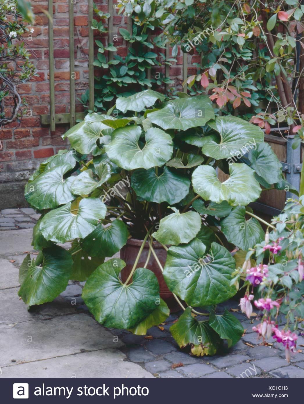 Farfugium japonicum pot 1 litre