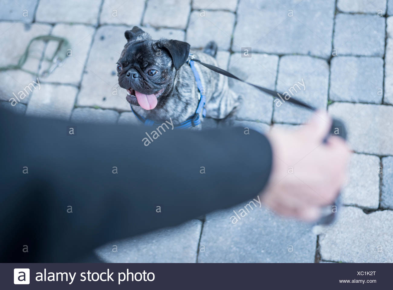 Woman holding dog lead of her pug - Stock Image