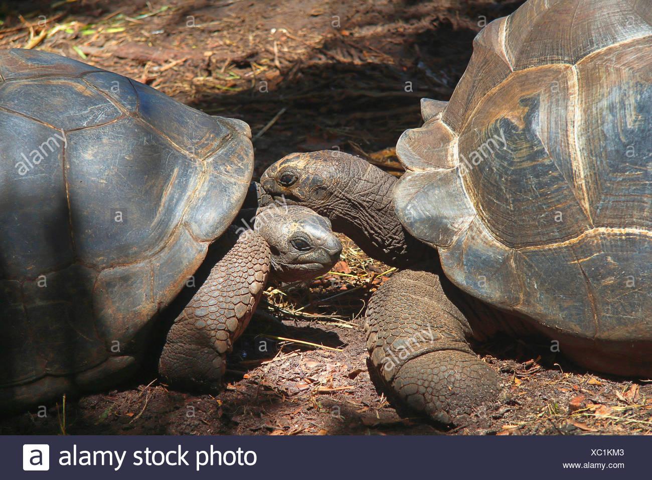 Seychelles giant tortoise, Aldabran giant tortoise, Aldabra giant tortoise (Aldabrachelys gigantea, Testudo gigantea, Geochelone gigantea, Megalochelys gigantea), portrait of two animals, Seychelles, La Digue - Stock Image