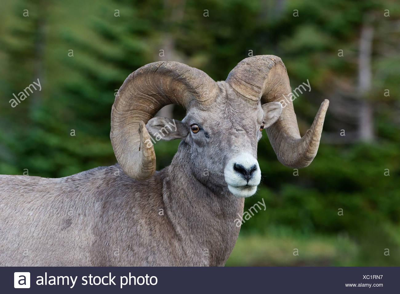 Bighorn ram (Ovis canadensis), Logan Pass, Glacier National Park, Montana. - Stock Image