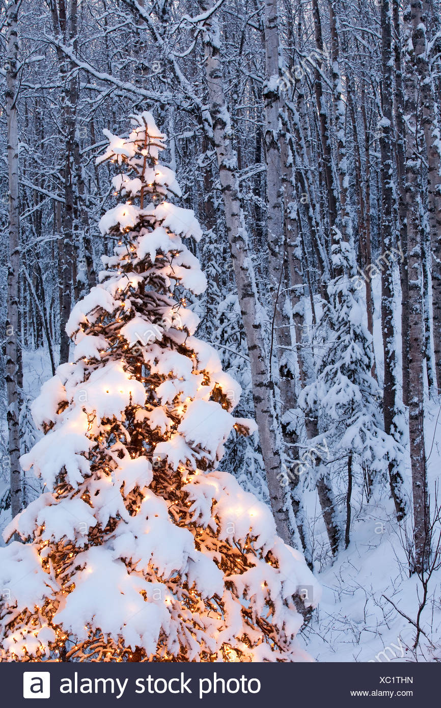 Alaska, Wasilla Single lit spruce tree in birch/spruce forest. - Stock Image