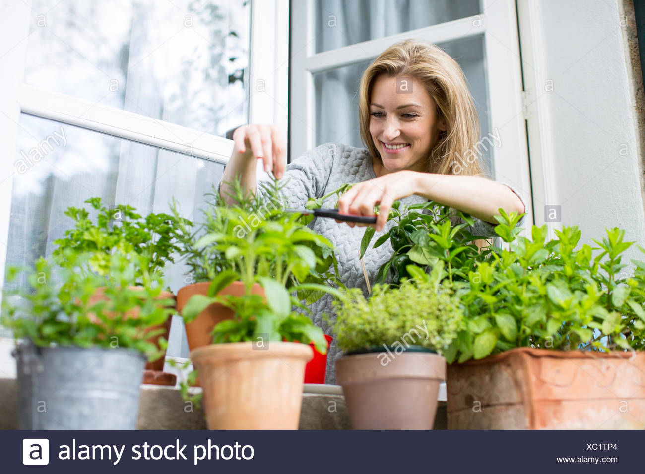 Woman clipping herb plants on windowsill - Stock Image