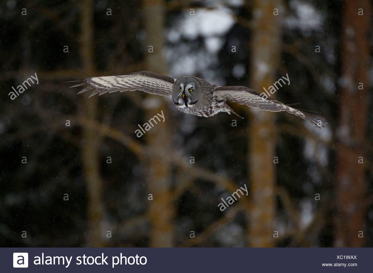 Great Grey Owl or Great Gray Owl (Strix nebulosa) in flight, winter, Oulu, Northern Ostrobothnia, Finland - Stock Image