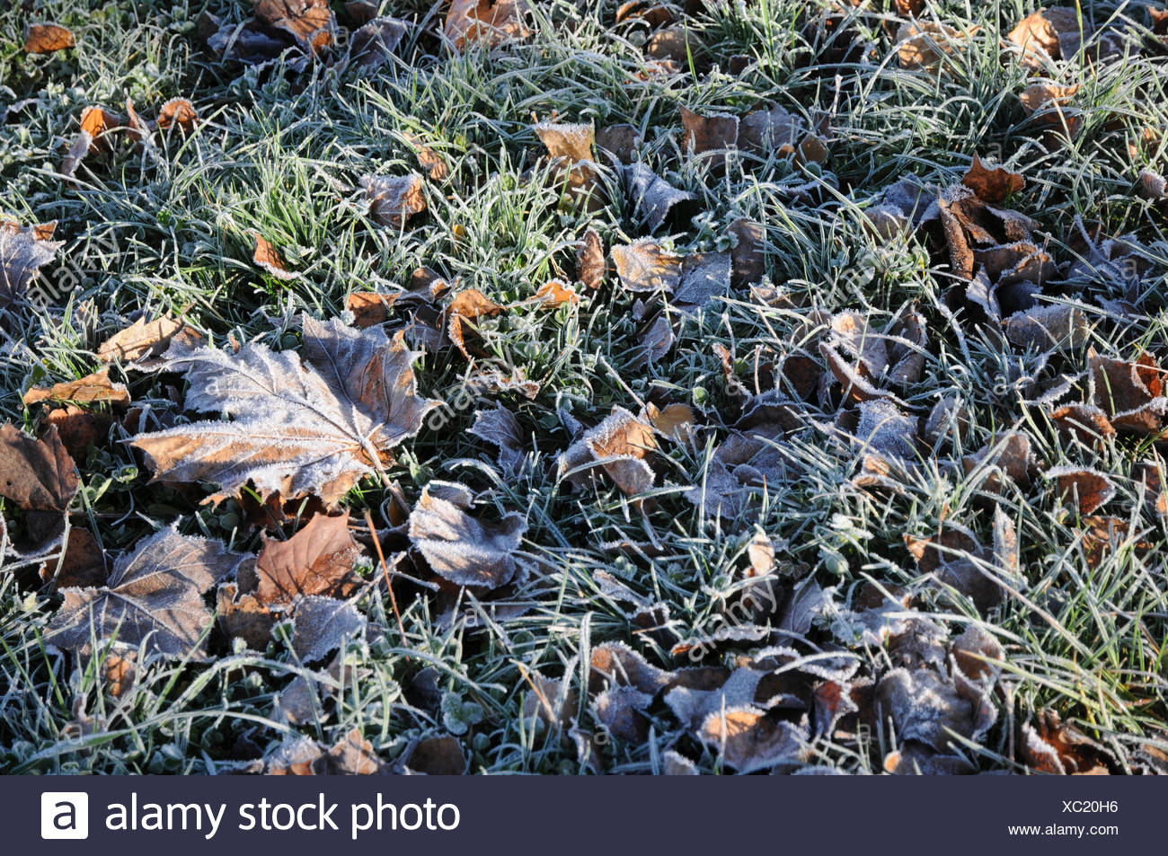 Lawn, Grass, White frost Stock Photo