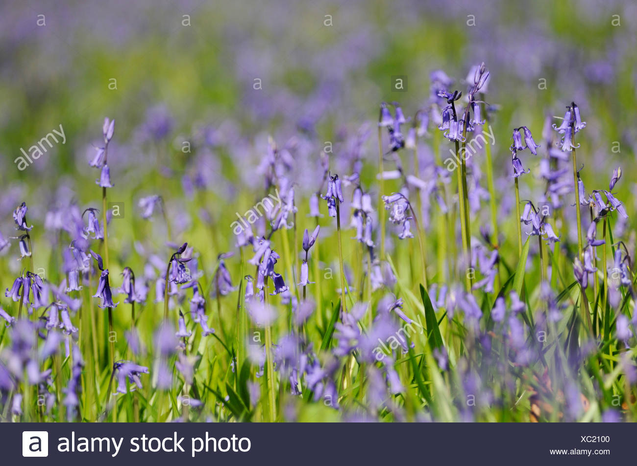 Hyacinthoides non-scripta, English bluebell. Low level shot with shallow focus of upright bluebells growing in a field. - Stock Image
