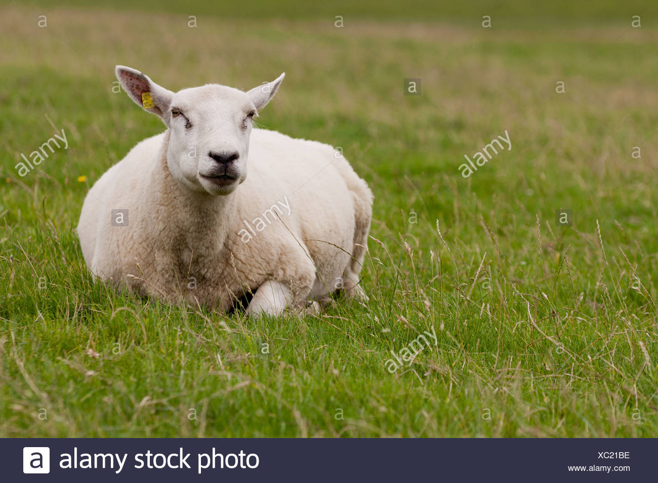 Sheep (Ovis orientalis aries) on a dyke, ruminating, North Frisia, Schleswig-Holstein, Germany, Europe - Stock Image