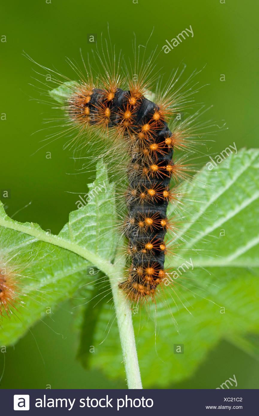 moth (Acronicta auricoma), caterpillars feeding on a leaf, Germany - Stock Image